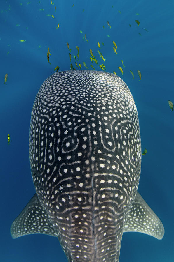 Bay Photograph - Whale Shark And Golden Trevally by Pete Oxford