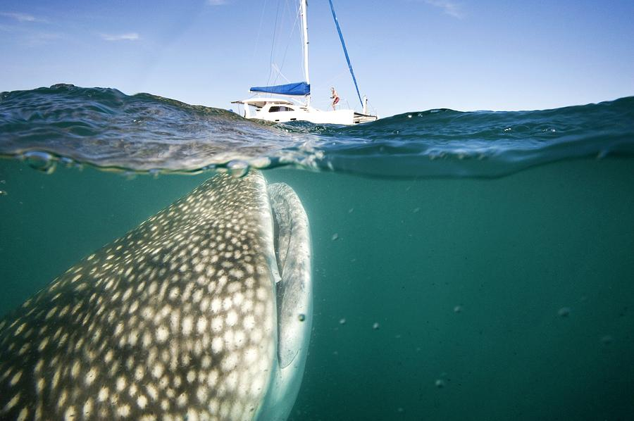 Rhincodon Typus Photograph - Whale Shark And Yacht by Christopher Swann