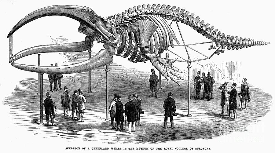 1866 Photograph - Whale Skeleton, 1866 by Granger