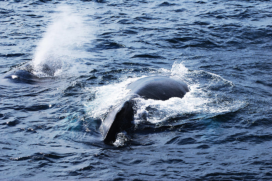 Cape Cod Photograph - Whales Family by Lorena Mahoney