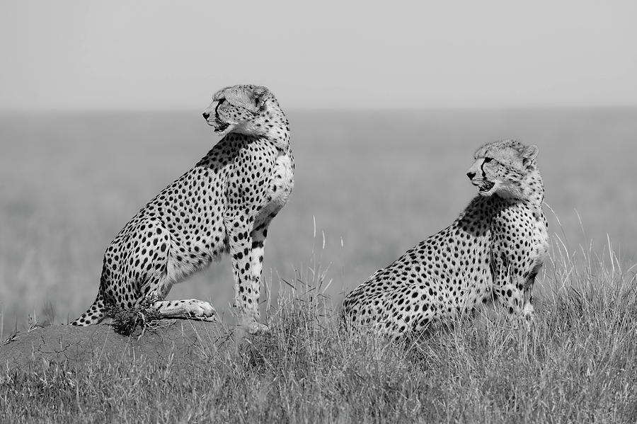 Cheetah Photograph - Whats Going On Here Around? by Marco Pozzi