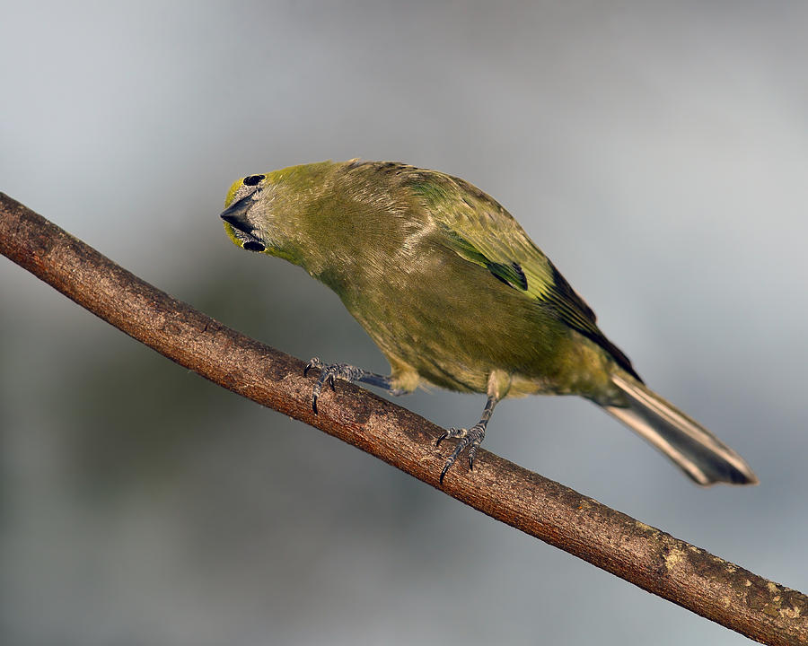 Palm Tanager Photograph - Whats Up And Down by Tony Beck