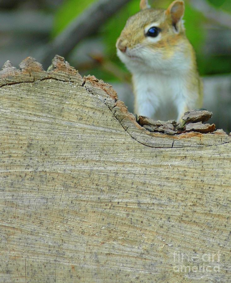 Chipmunk Photograph - Whats Up by Kathleen Struckle