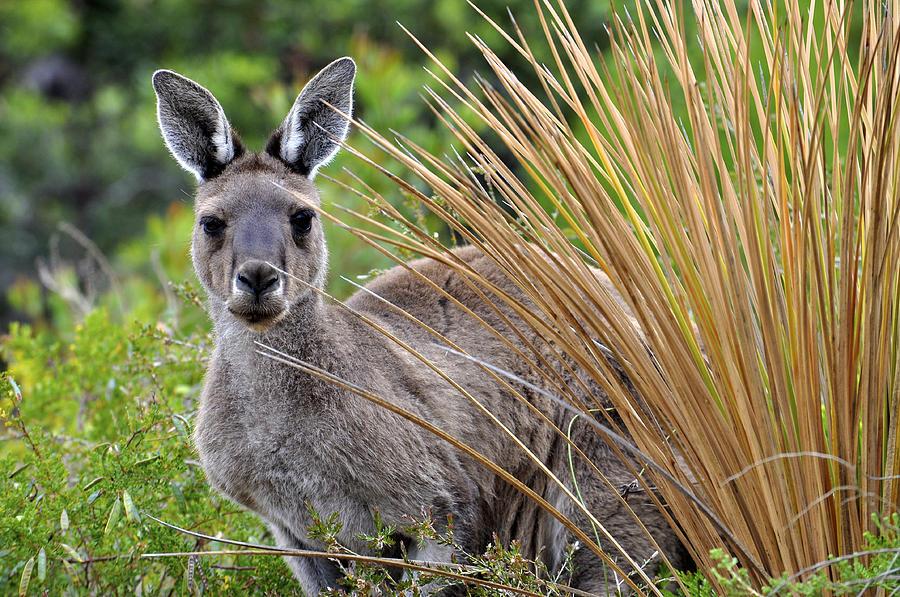Roo Photograph - Whatya Lookin At? by Sally Nevin