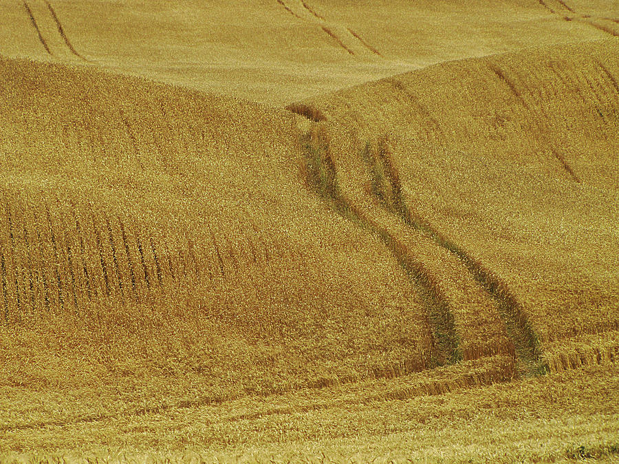 Wheat Field Photograph by Francois Dion