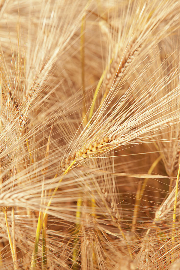 Farm Photograph - Wheat Field In Picardy, France by Cl?ment Guillaume