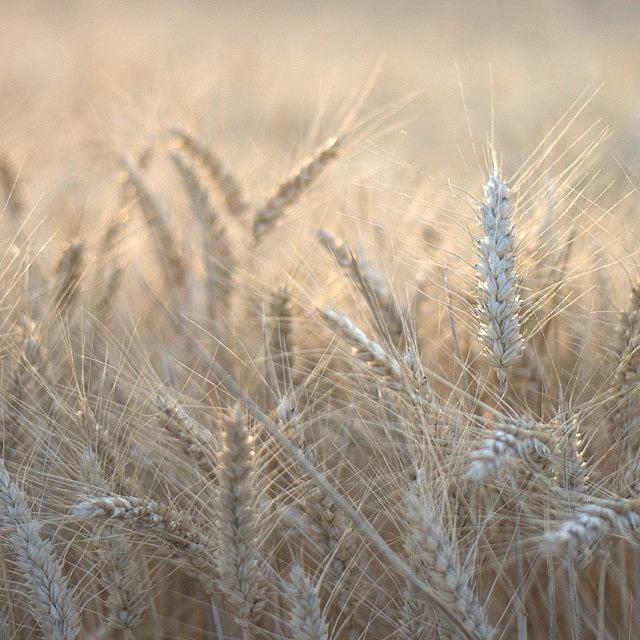 Beautiful Photograph - #wheat #france #rsa_ladies #rsa_nature by Georgia Fowler