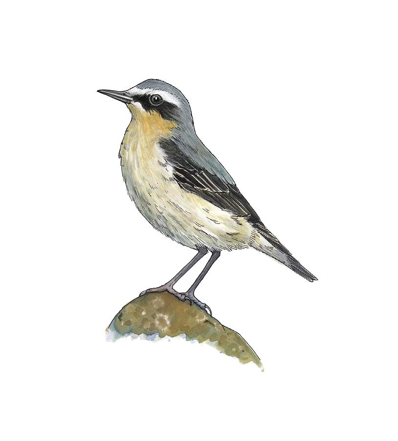 Cutout Photograph - Wheatear, Artwork by Science Photo Library