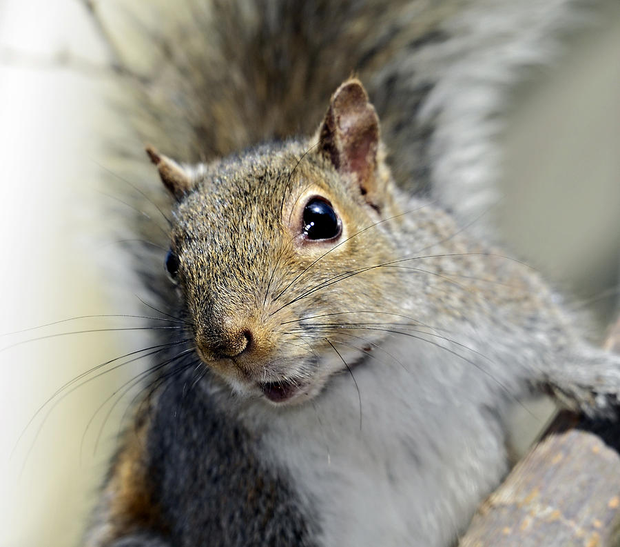 Squirrel Photograph - Where Are The Nuts by Susan Leggett