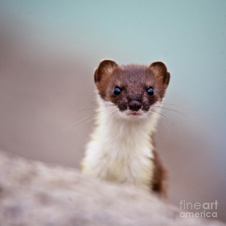 Weasel Photograph - Where Is The Fish by Heiko Koehrer-Wagner