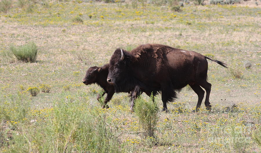Bison Photograph - Where The Bison Roam by Ruth Jolly