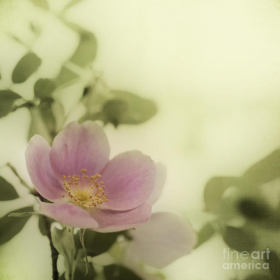Rosa Acicularis Photograph - Where The Wild Roses Grow by Priska Wettstein
