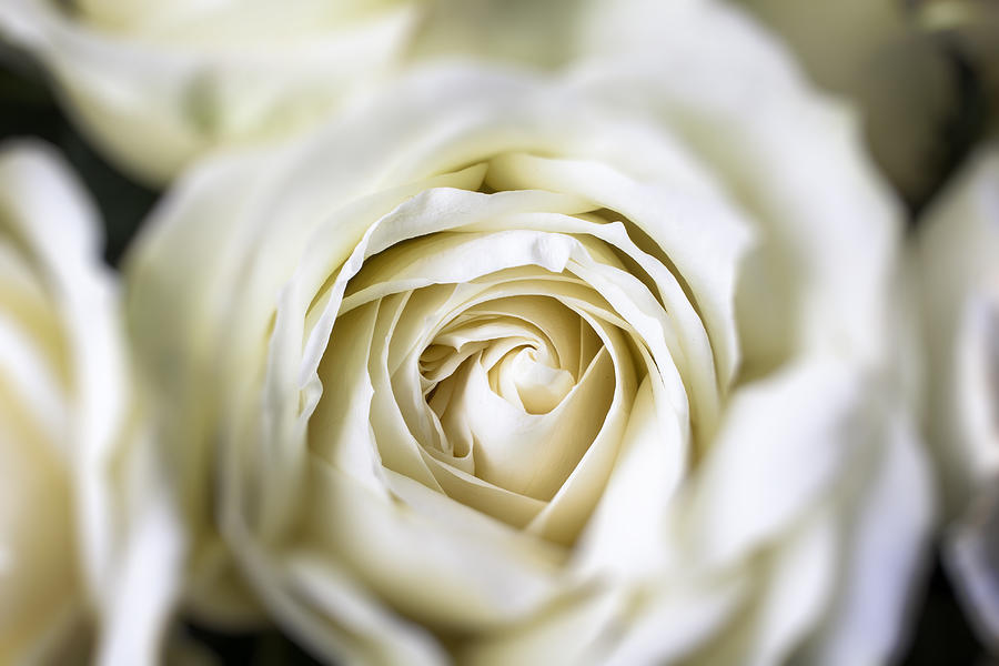 White Photograph - Whie Rose Softly by Garry Gay