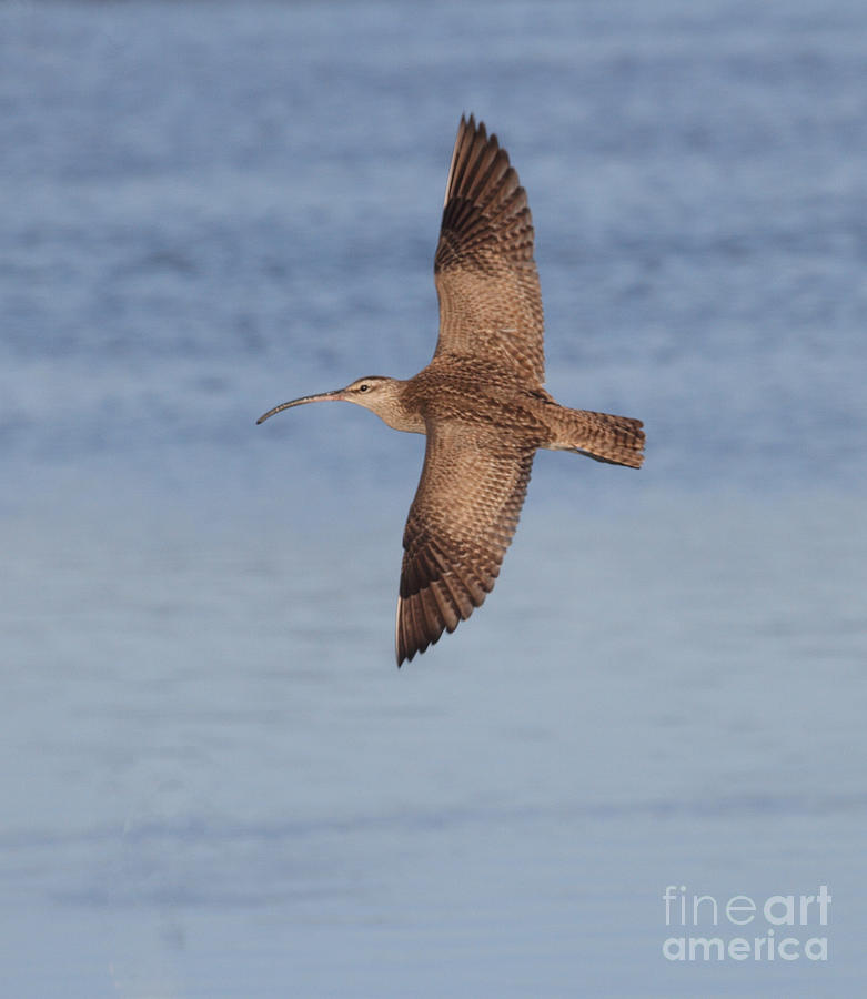 Whimbrel Photograph - Whimbrel In Flight by Ruth Jolly