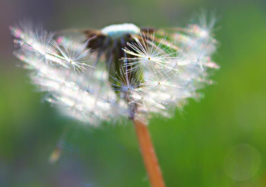 Dandelion Photograph - Whimsy Dandelion by Candice Trimble