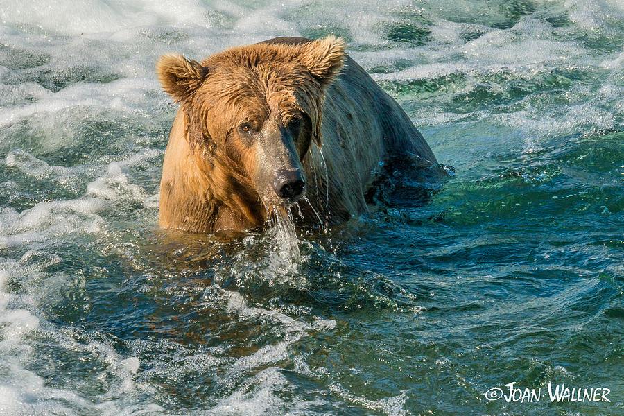 Alaska Photograph - Whirlpool Grizzly by Joan Wallner