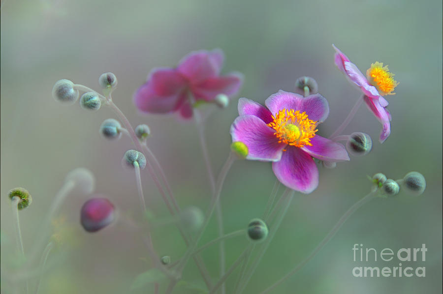 Floral Photograph - Whisper by Elaine Manley