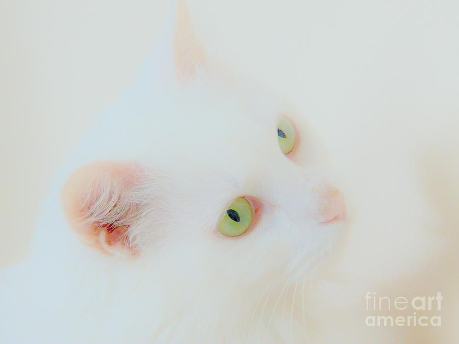 White Cat Photograph - Whisper White by Judy Via-Wolff