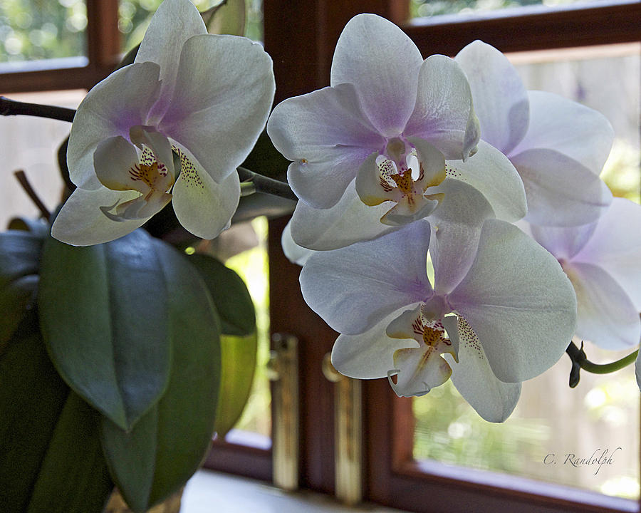 Orchid Photograph - Whispering White by Cheri Randolph
