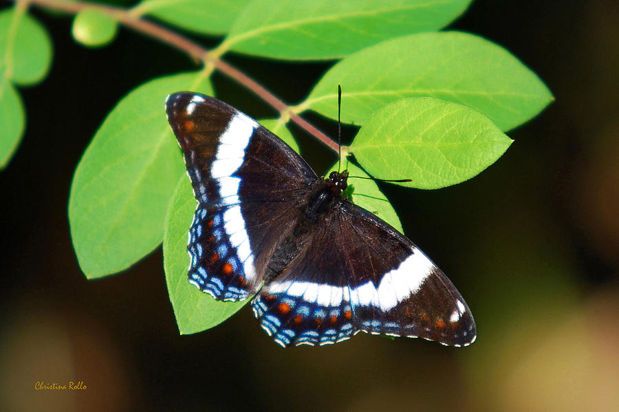 Butterfly Photograph - White Admiral Butterfly by Christina Rollo