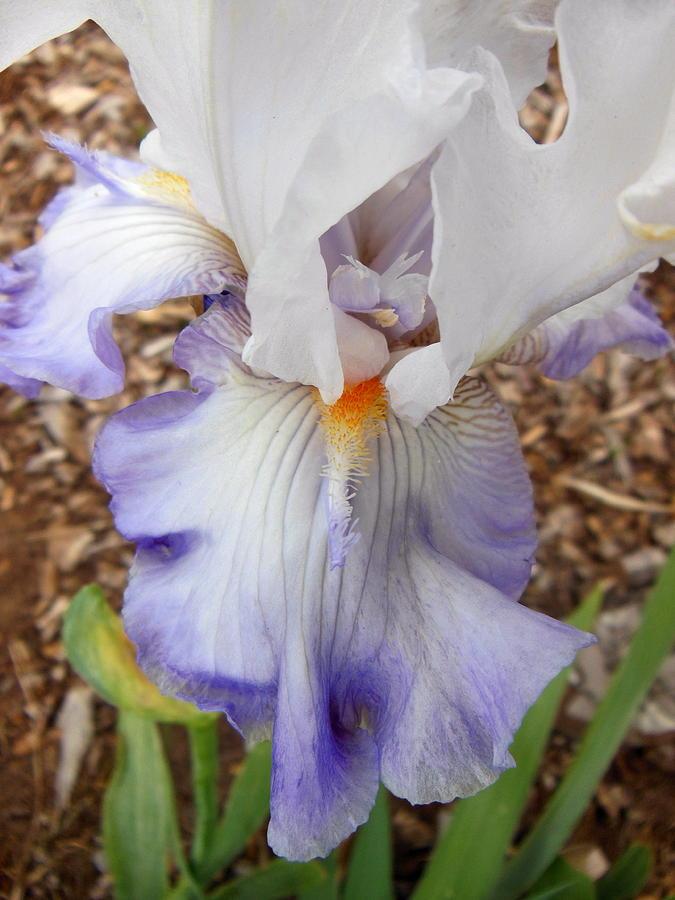 Iris Photograph - White And Blue Iris by Virginia Forbes