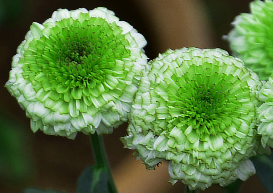 White And Green Mum Flowers Photograph By Johnson Moya