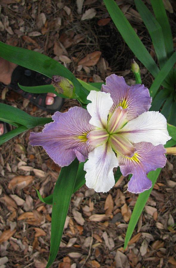 Iris Photograph - White And Lavender Iris Flower by Tom Hefko