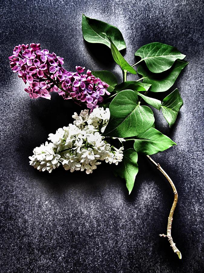 Lilac Photograph - White And Purple Lilacs by Marianna Mills