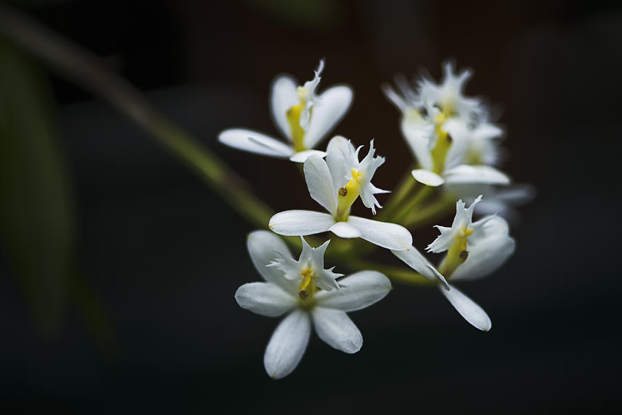 White And Yellow Epidendrum Orchid Photograph