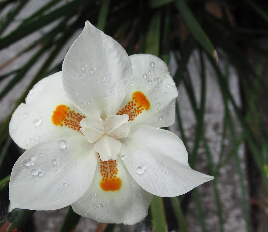 Iris Photograph - White and Yellow Iris Flower by Tom Hefko