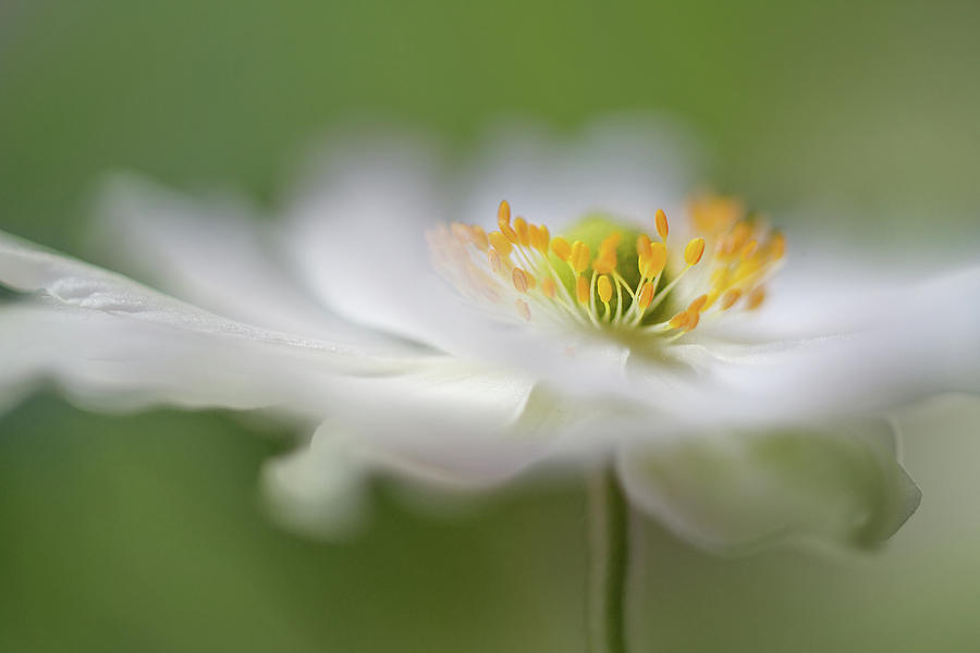 Macro Photograph - White Anemone by Mandy Disher
