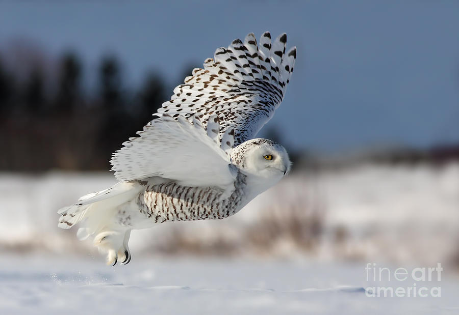 Bird Of Prey Photograph - White Angel - Snowy Owl In Flight by Mircea Costina Photography