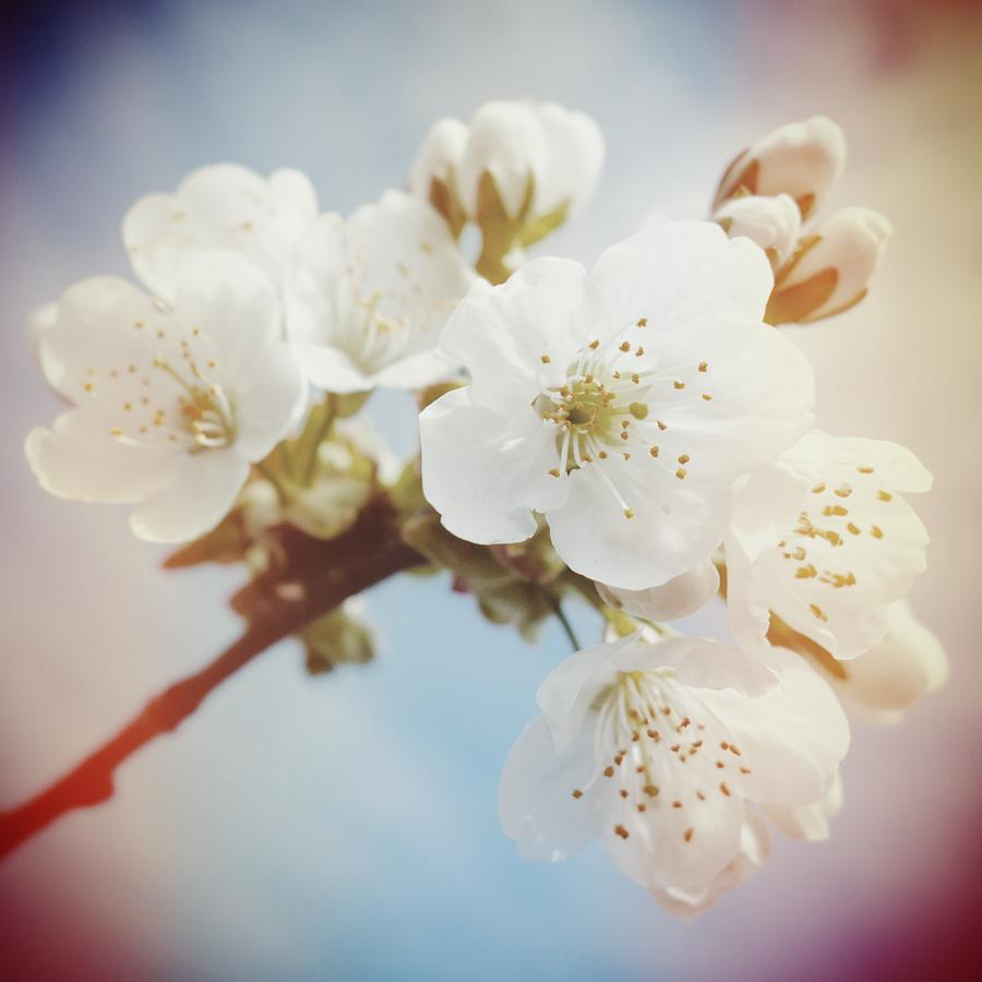 Apple Blossom Photograph - White apple blossom in spring by Matthias Hauser