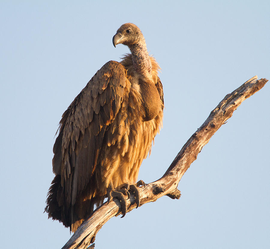 Africa Photograph - White Backed Vulture by Craig Brown