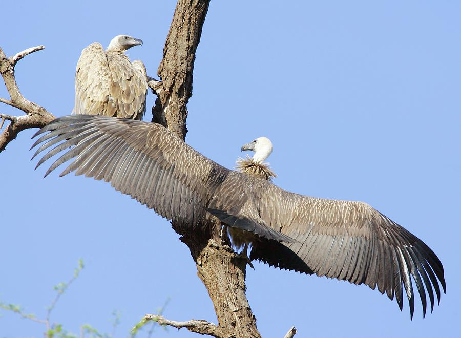 White-backed Vulture Photograph - White-backed Vultures by John Devries/science Photo Library