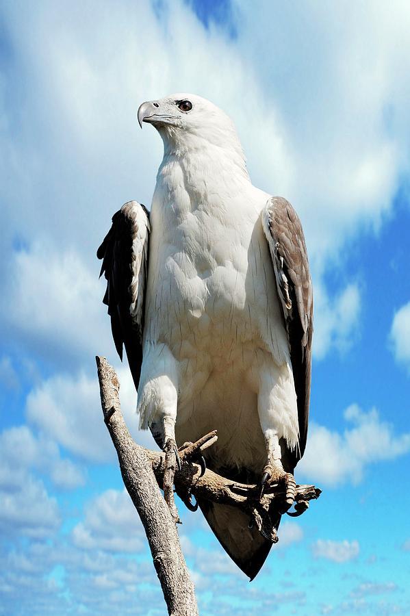 Animal Photograph - White-bellied Sea Eagle by Bildagentur-online/mcphoto-schulz