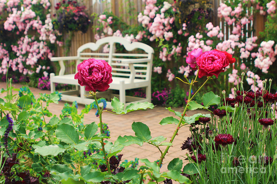 English Garden Photograph - White Bench And Pink Climbing Roses In English Garden by Beverly Claire Kaiya