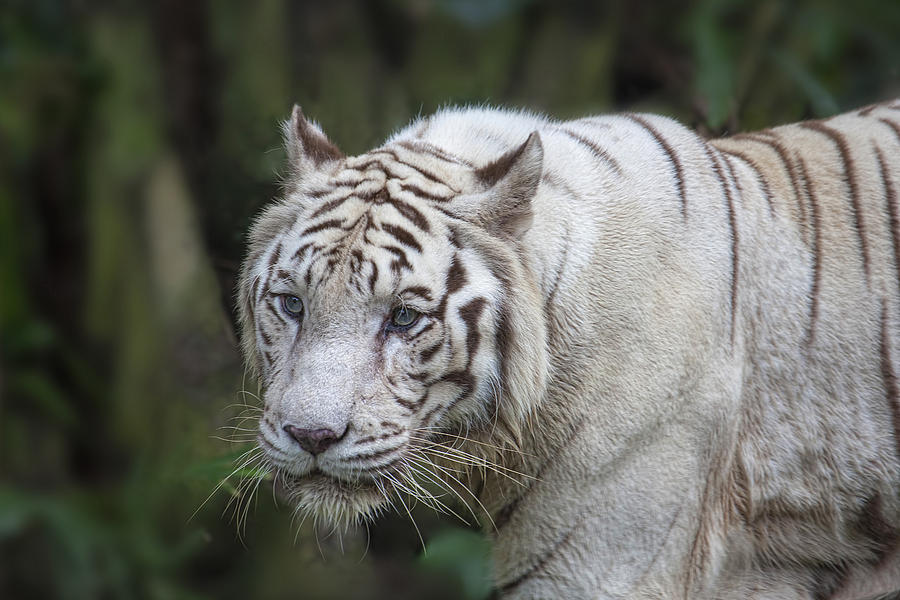 White Tiger Photograph - White Bengal Tiger by David Gn