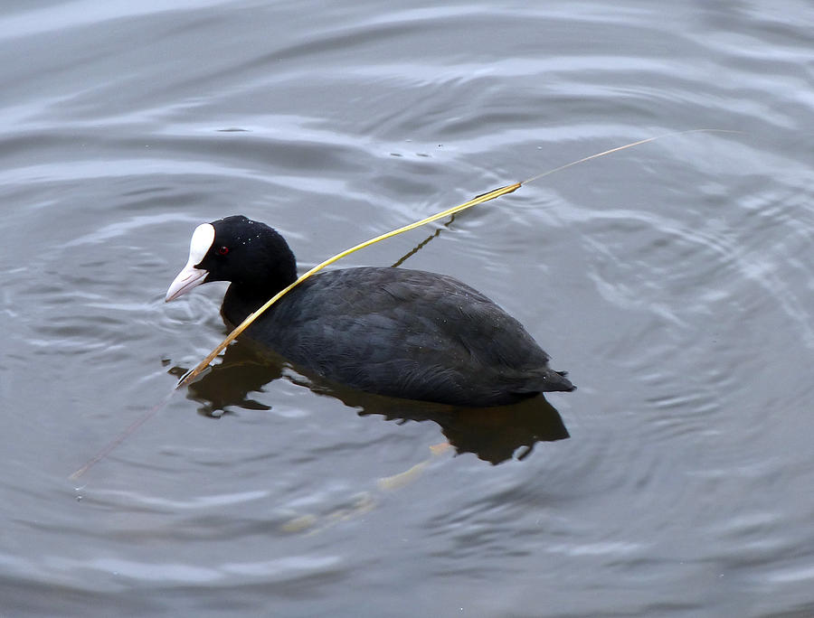 white-billed American coot Photograph by Baato