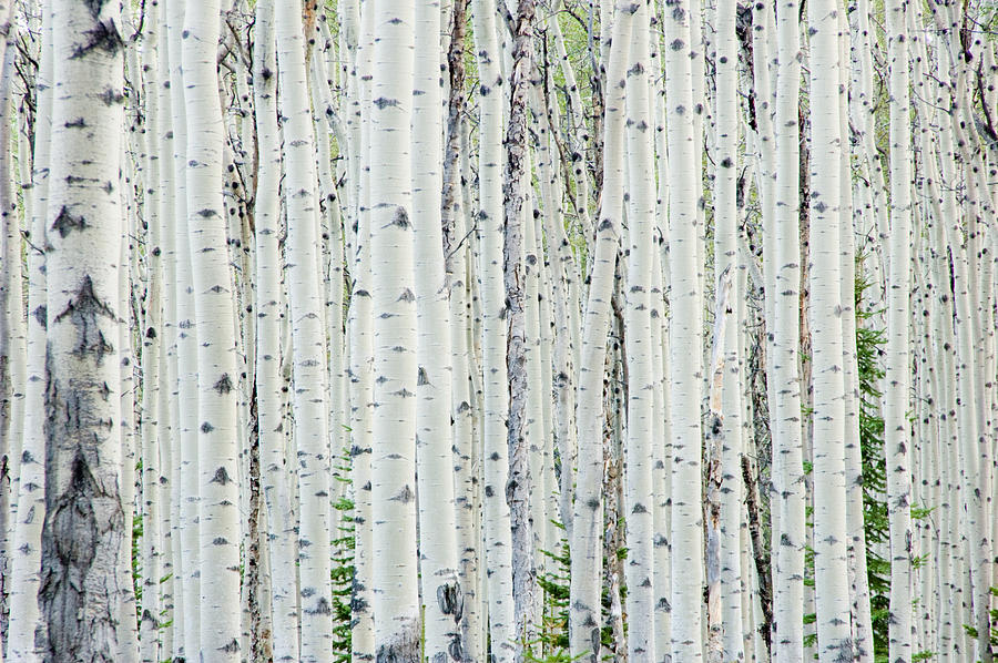 White birch tree forest Photograph by OGphoto