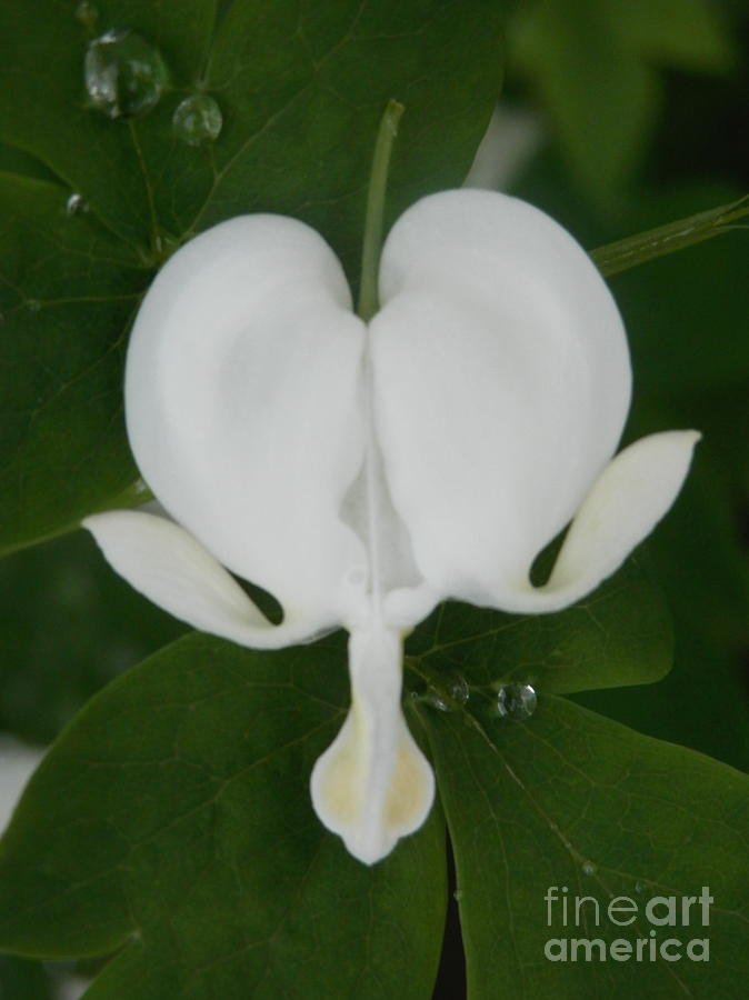 Bleeding Heart Photograph - White Bleeding Heart by Margaret McDermott