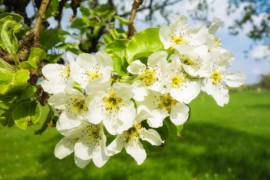 White Blossom On Apple Tree In Spring Photograph