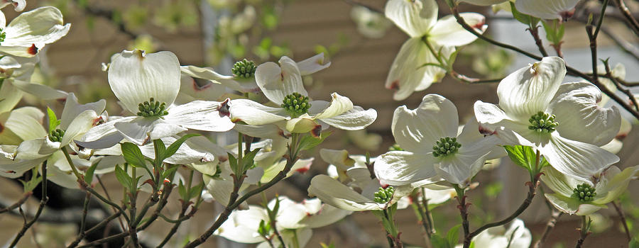Floral Photograph - White Blossoms by Barbara McDevitt