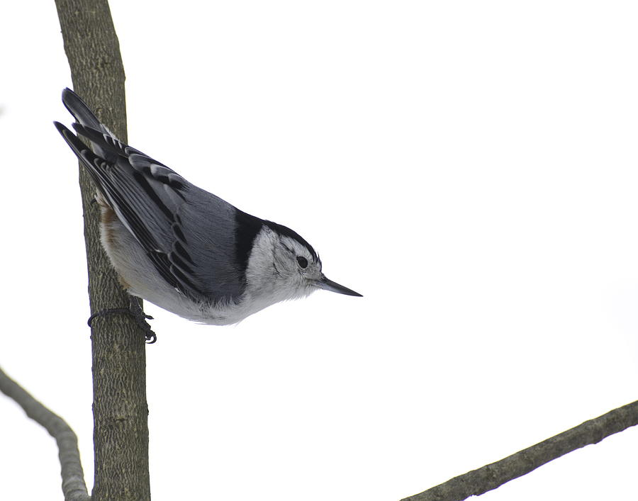 Birds Photograph - White Breasted Nuthatch by Alan Norsworthy