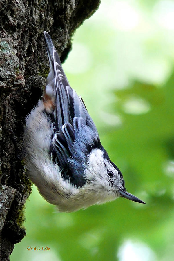 Bird Photograph - White Breasted Nuthatch by Christina Rollo