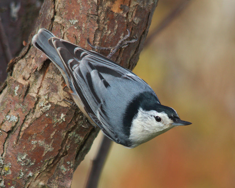 Bird Photograph - White-breasted Nuthatch by Kimberly Kotzian