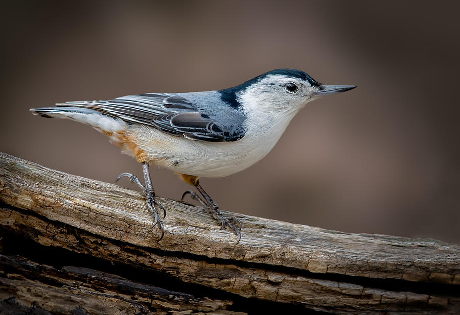 White Breasted Nuthatch by Steve Zimic
