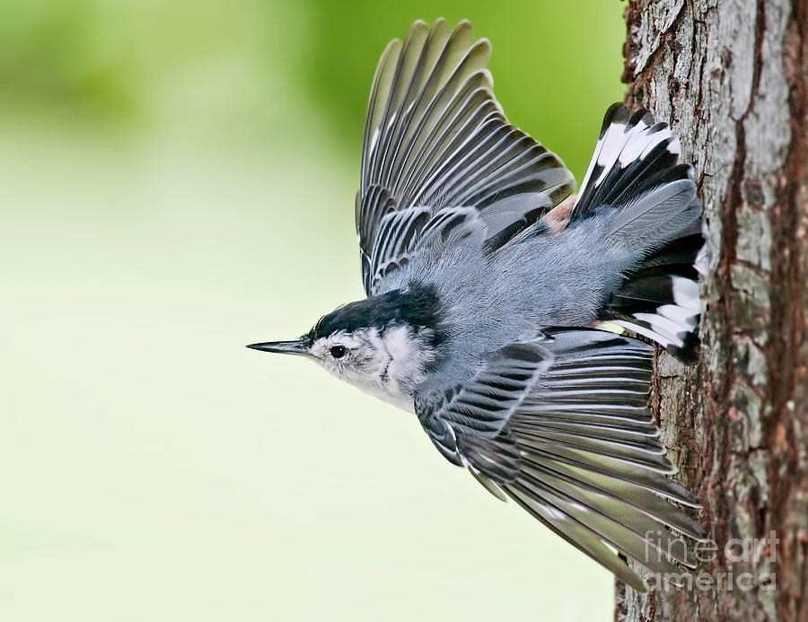 White-Breasted Nuthatch Taking Off by Jean A Chang