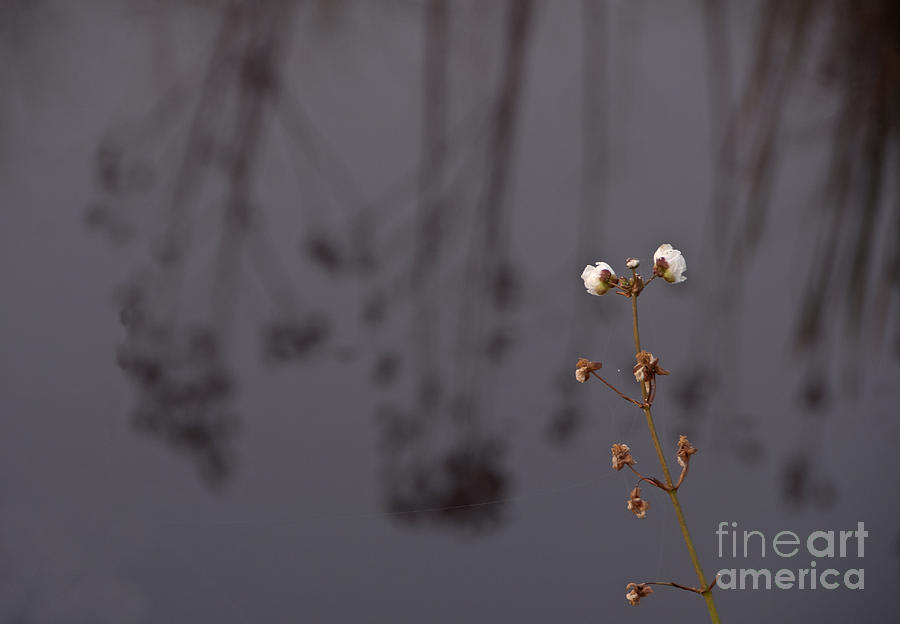 Foggy Photograph - White Buds by Roy Thoman