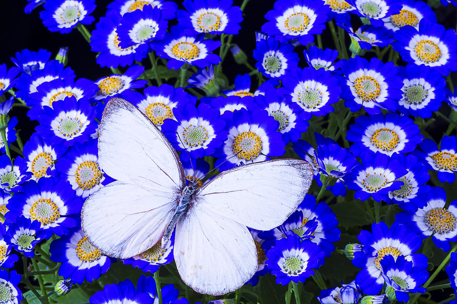 White butterfly in blue flowers photograph by garry gay blue photograph white butterfly in blue flowers by garry gay mightylinksfo Choice Image
